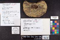Ganoderma wiiroense image