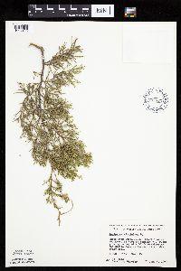 Juniperus virginiana image