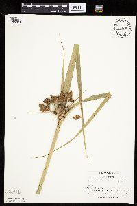 Image of Bolboschoenus fluviatilis