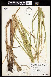 Image of Carex atherodes