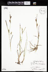 Carex crawei image