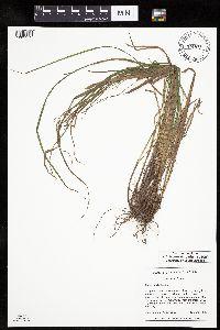 Image of Carex debilis