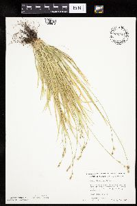 Carex deweyana image