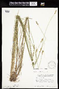 Carex echinata subsp. echinata image