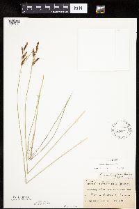 Carex haydenii image