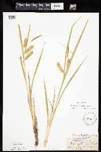 Image of Carex hystericina
