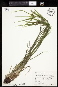 Image of Carex intumescens