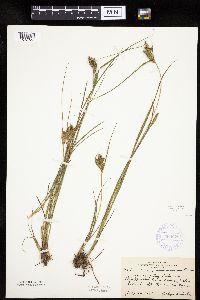 Carex lenticularis image