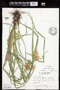 Image of Carex lupulina