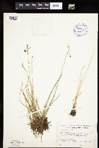 Carex magellanica image