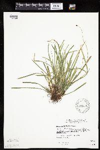 Image of Carex pedunculata