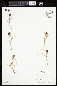 Carex perglobosa image