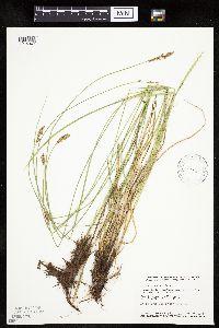 Image of Carex prairea