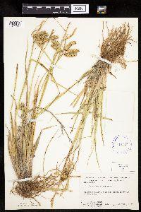 Carex pseudocyperus image