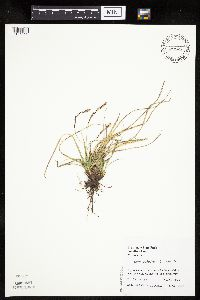 Carex richardsonii image
