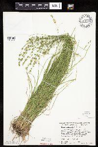Carex rosea image
