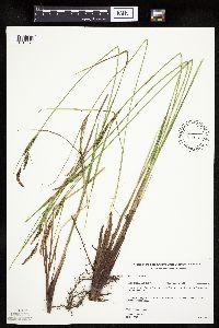 Image of Carex stricta