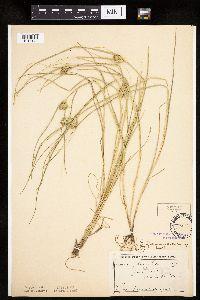 Carex sychnocephala image