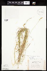 Image of Carex tenera