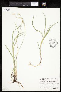 Carex woodii image