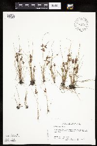 Image of Cyperus bipartitus