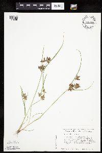 Cyperus diandrus image