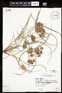 Image of Cyperus odoratus