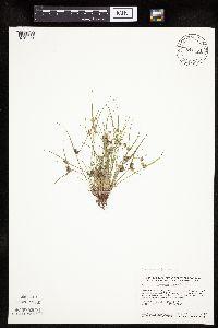 Image of Cyperus squarrosus