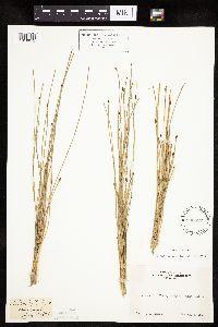 Eleocharis bolanderi image