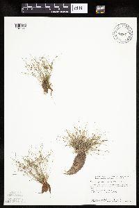 Image of Lipocarpha micrantha