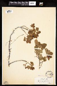 Ribes erythrocarpum image