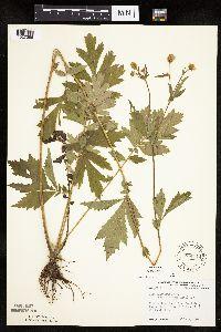 Geum aleppicum image