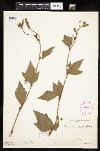 Geum canadense image