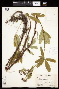 Comarum palustre image