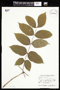 Fraxinus nigra image