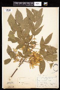 Image of Fraxinus pennsylvanica