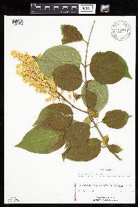 Syringa reticulata image