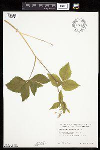 Image of Cryptotaenia canadensis