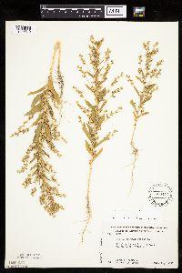Axyris amaranthoides image