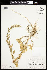 Image of Chenopodium album