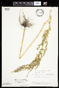 Chenopodium berlandieri var. zschackei image