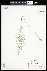Image of Chenopodium desiccatum