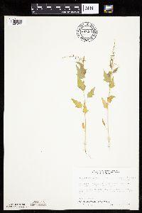 Image of Chenopodium simplex