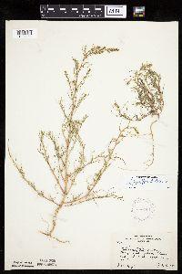 Salsola tragus image
