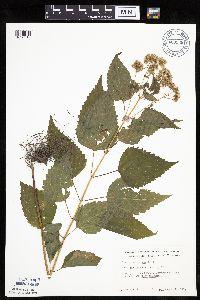 Image of Ageratina altissima