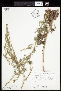 Artemisia absinthium image
