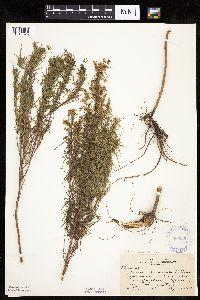 Image of Artemisia dracunculus
