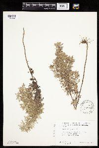 Image of Artemisia pontica