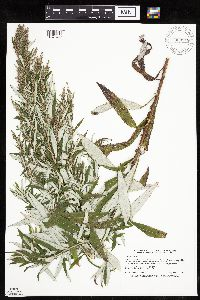 Artemisia serrata image
