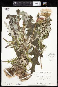 Cirsium discolor image
